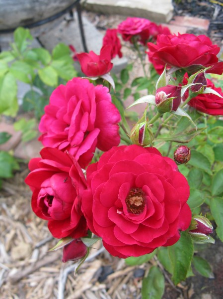 Red roses blooming profusely.